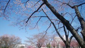 Sakura_1903242
