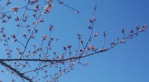 Sakura_1903243