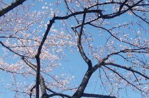 Sakura_1903244