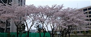 Sakura_1903311
