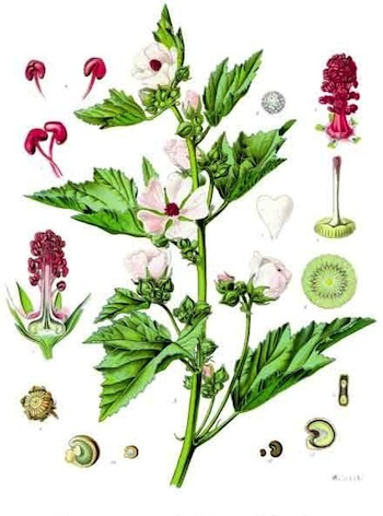 Althaea_officinalis__khlers_medizin