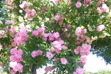 Menuma_rose1805_3