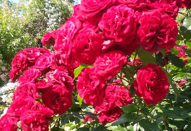 Menuma_rose1805_6