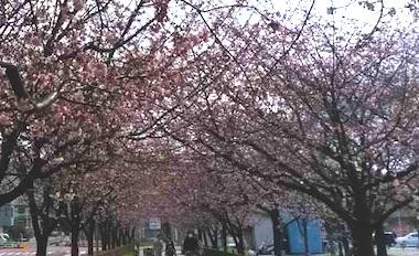 Angyo_sakura_1903101
