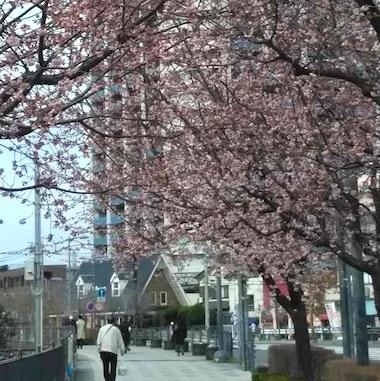 Angyo_sakura_1903102