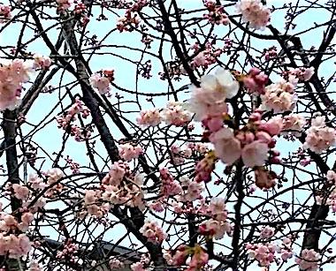 Angyo_sakura_1903103