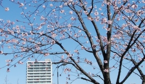 Sakura1_200223