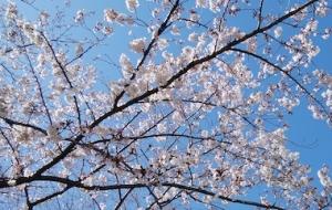 Sakura1_200320