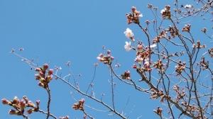 Sakura3_200320