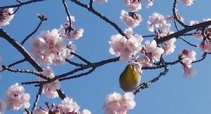 Sakura4_200223